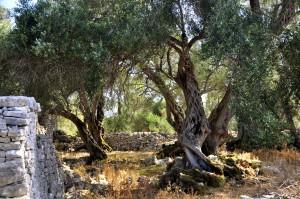 FKnorrige alte Olivenbäume auf Paxos.